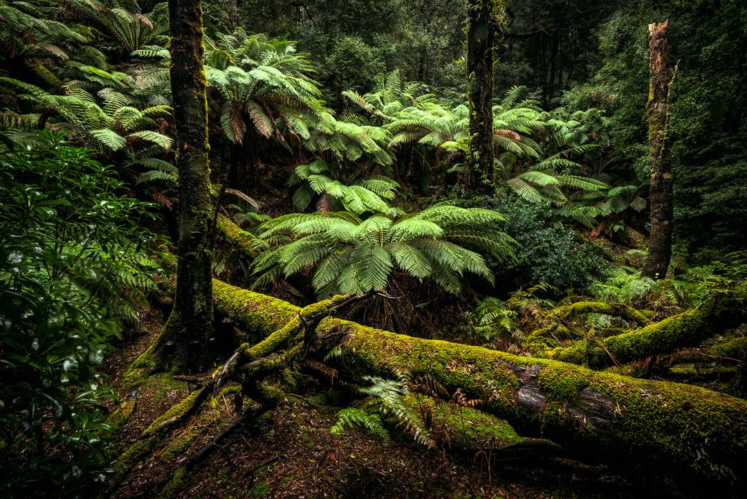 Man Ferns near Corinna, Tasmania (c) Michael Smyth 2017