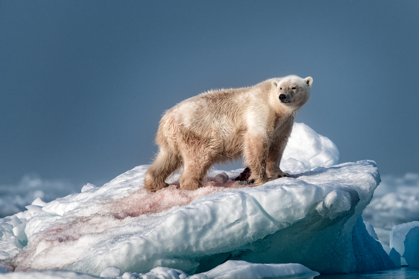 BEAR ON ICE 2_MDS4032.jpg