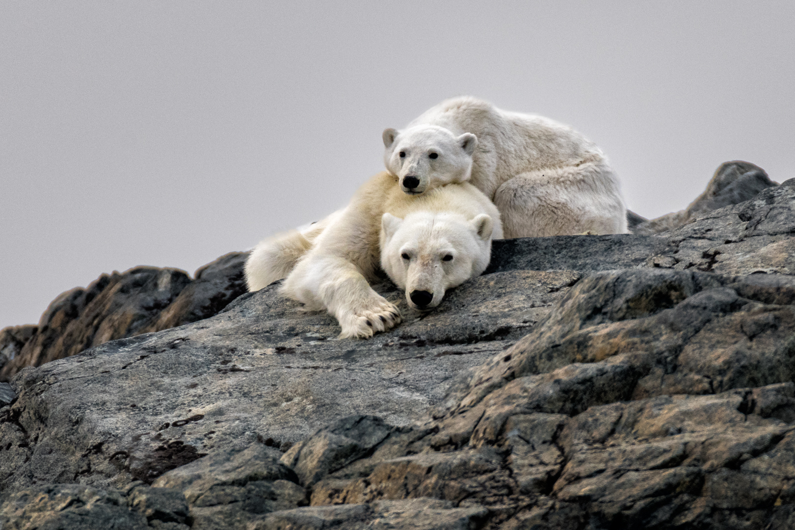 BEARS WAITING FOR ICE_MDS4308.jpg