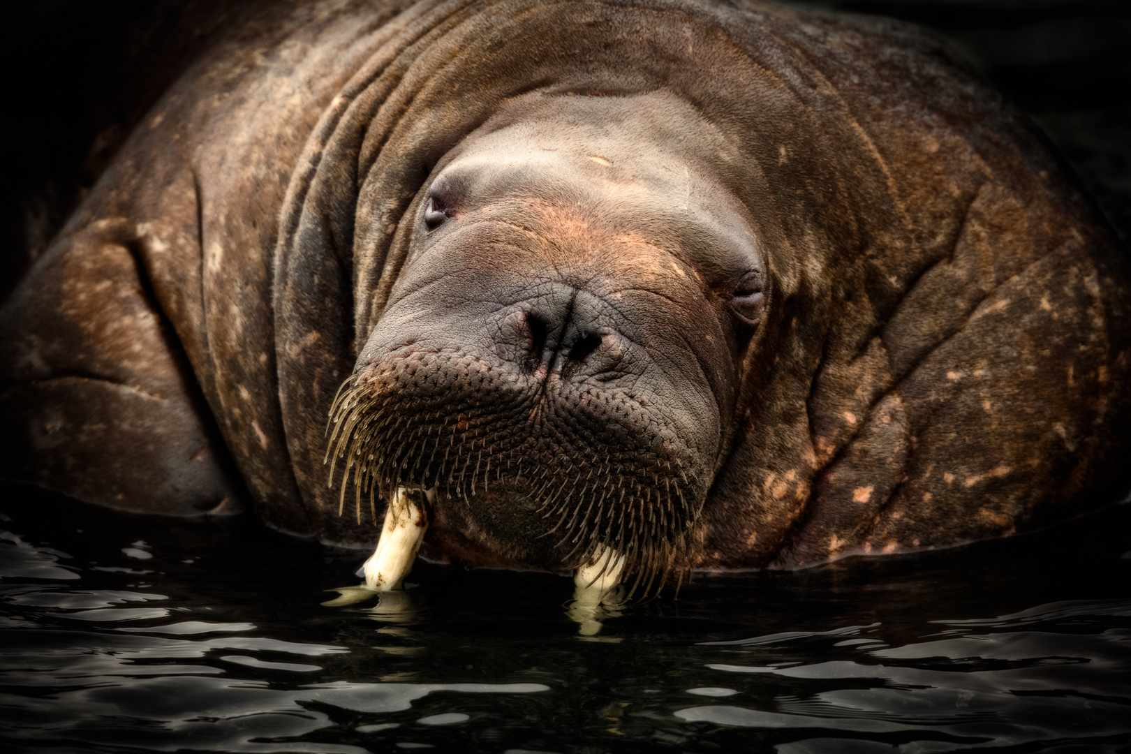 SLEEPY WALRUS_MDS5160.jpg