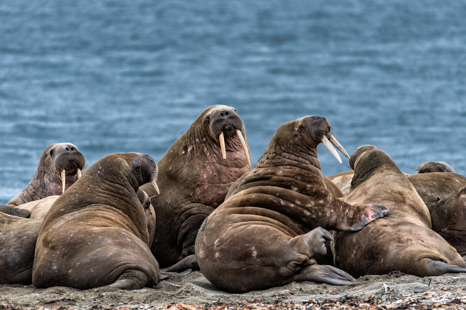 WALRUS GROUP_MDS4952.jpg