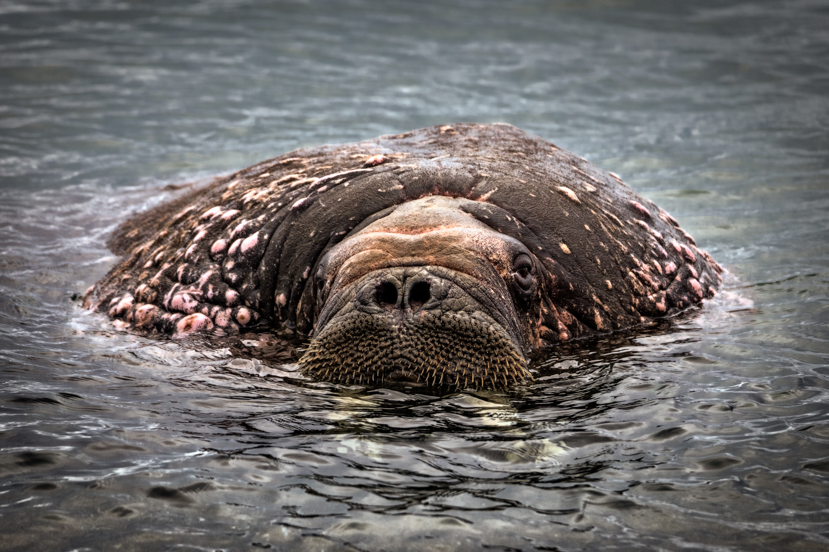 WALRUS WITH LUMPS_MDS5137.jpg