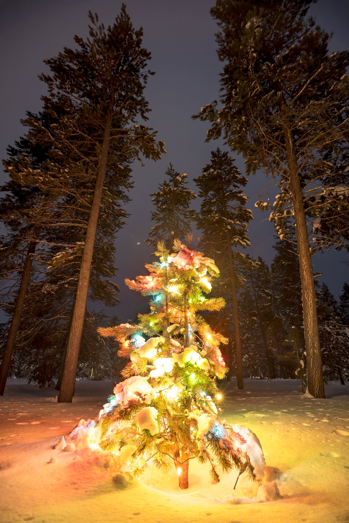 A Wild Christmas Tree, Sunriver, Oregon