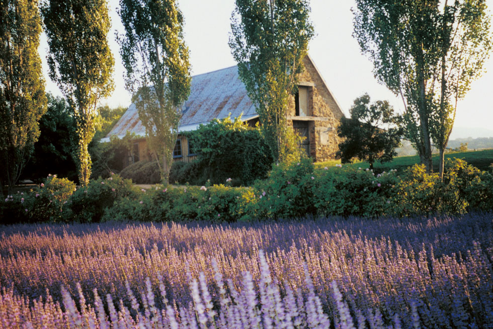 Fresh lavender at Lavendula, Hepburn Springs, Victoria - one of my favourite spots from home
