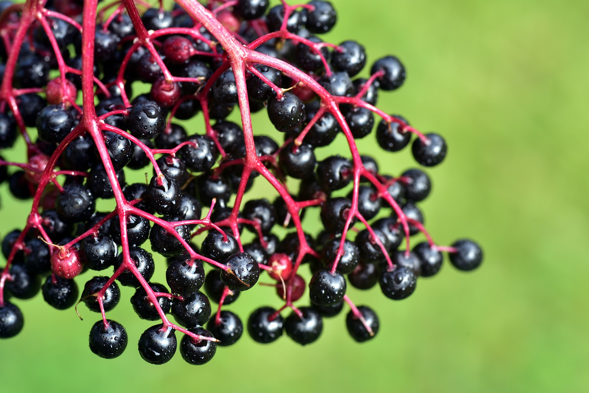 Delicious elderberries in the autumn.