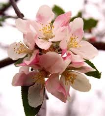 Apple Blossom- better things to come