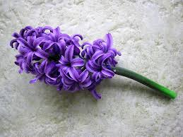 Hyacinth, Purple- I'm sorry, Please forgive me