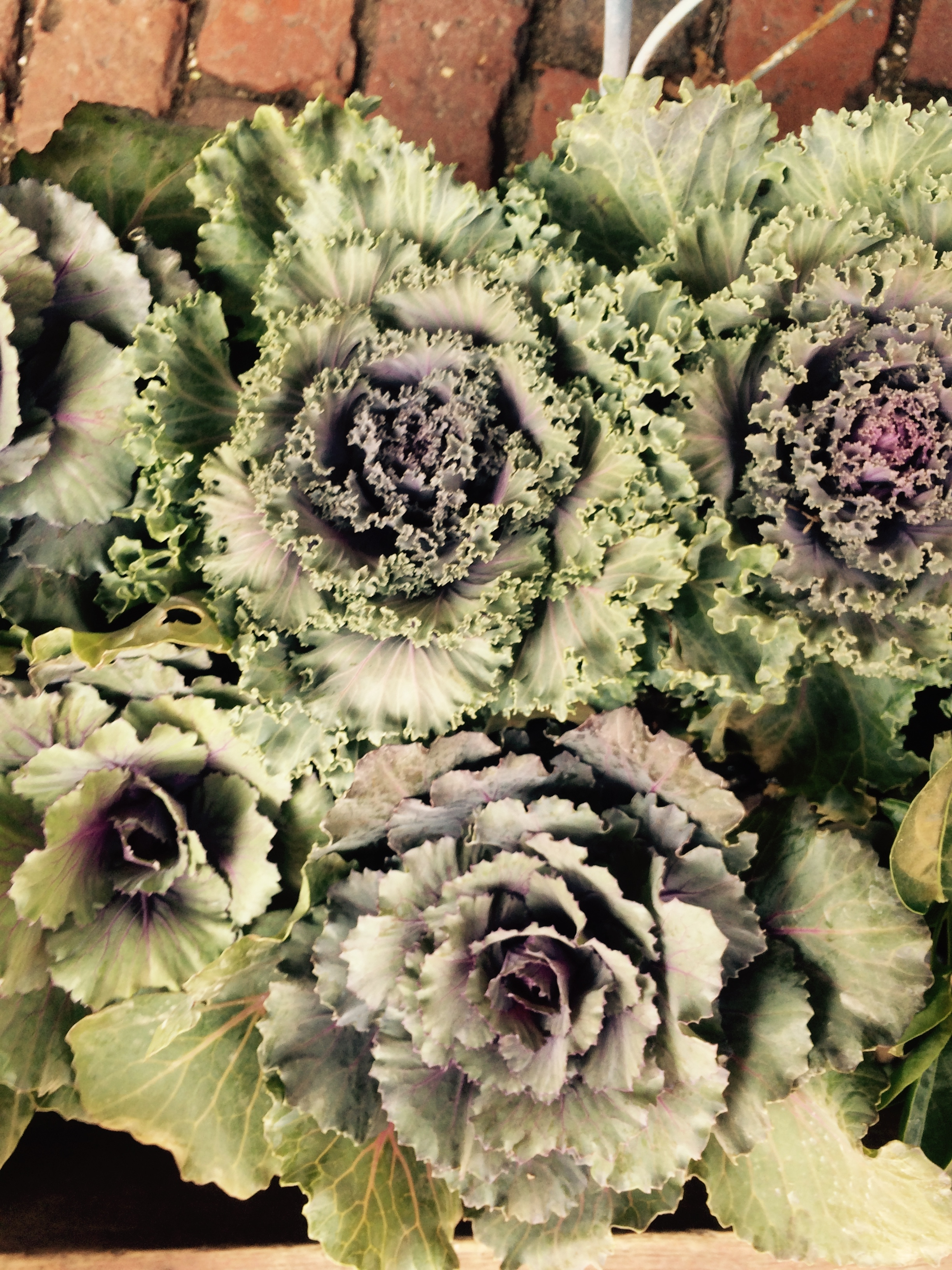 This exquisite decorative kale has a vibrate purple center which pairs well with tons of other autumnal colors.