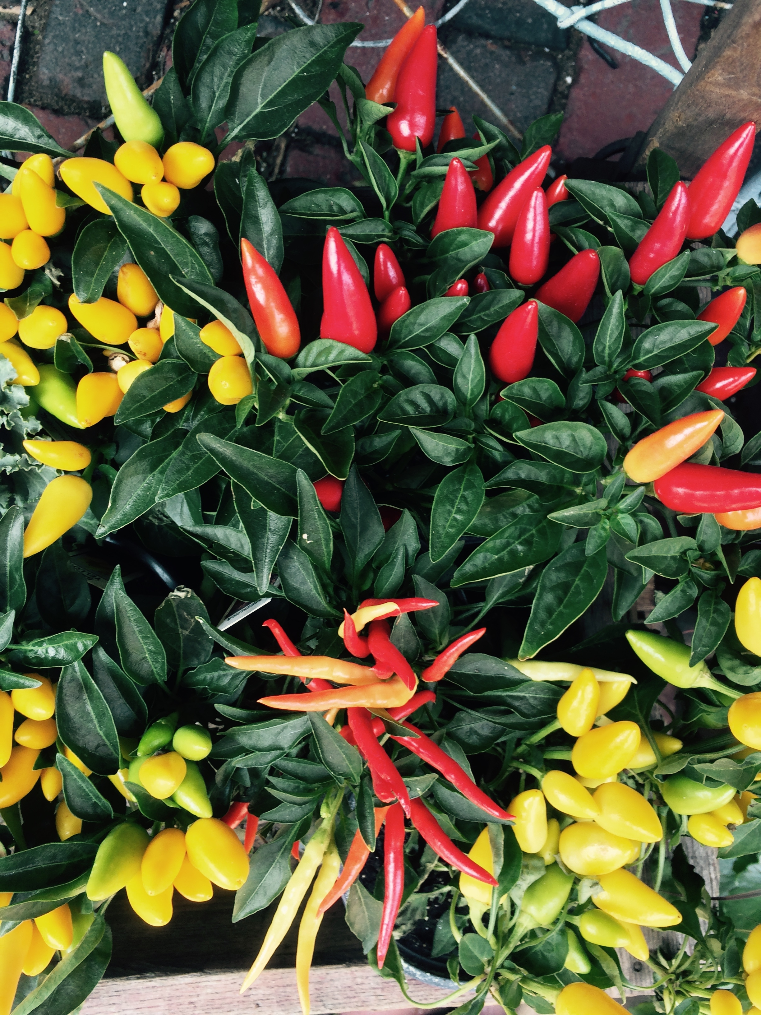 Ornamental peppers are another absolute favorite! I love how many different colors can be seen on each plant.