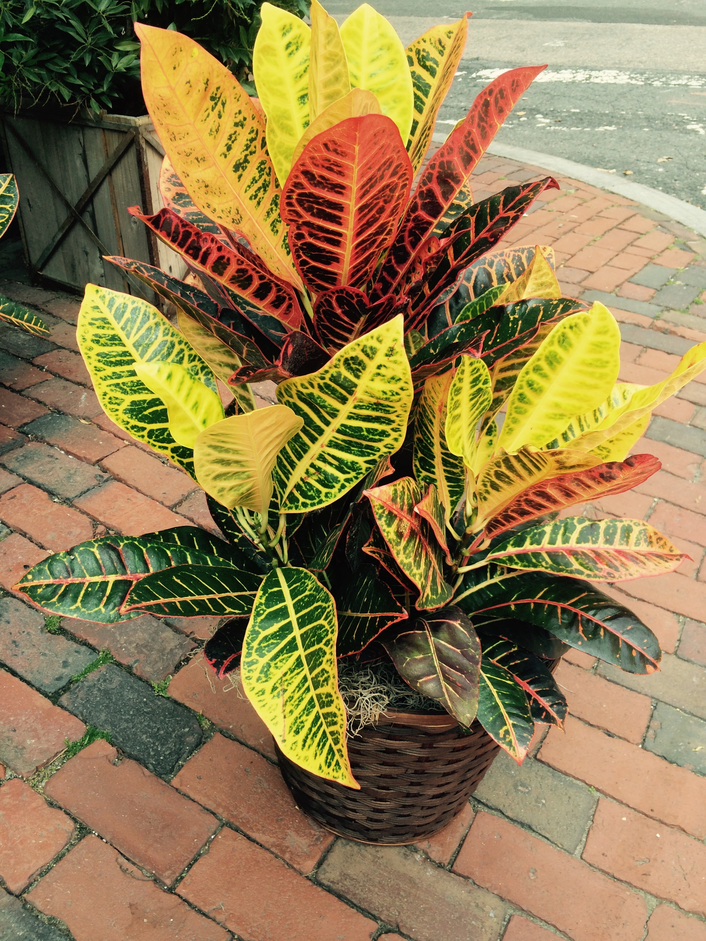 A large happy Croton, would certainly add a rainbow of color and warmth to any space! Bonus: the leaves make fantastic linings for glass vases!