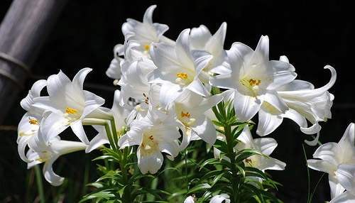 easter lily.jpg