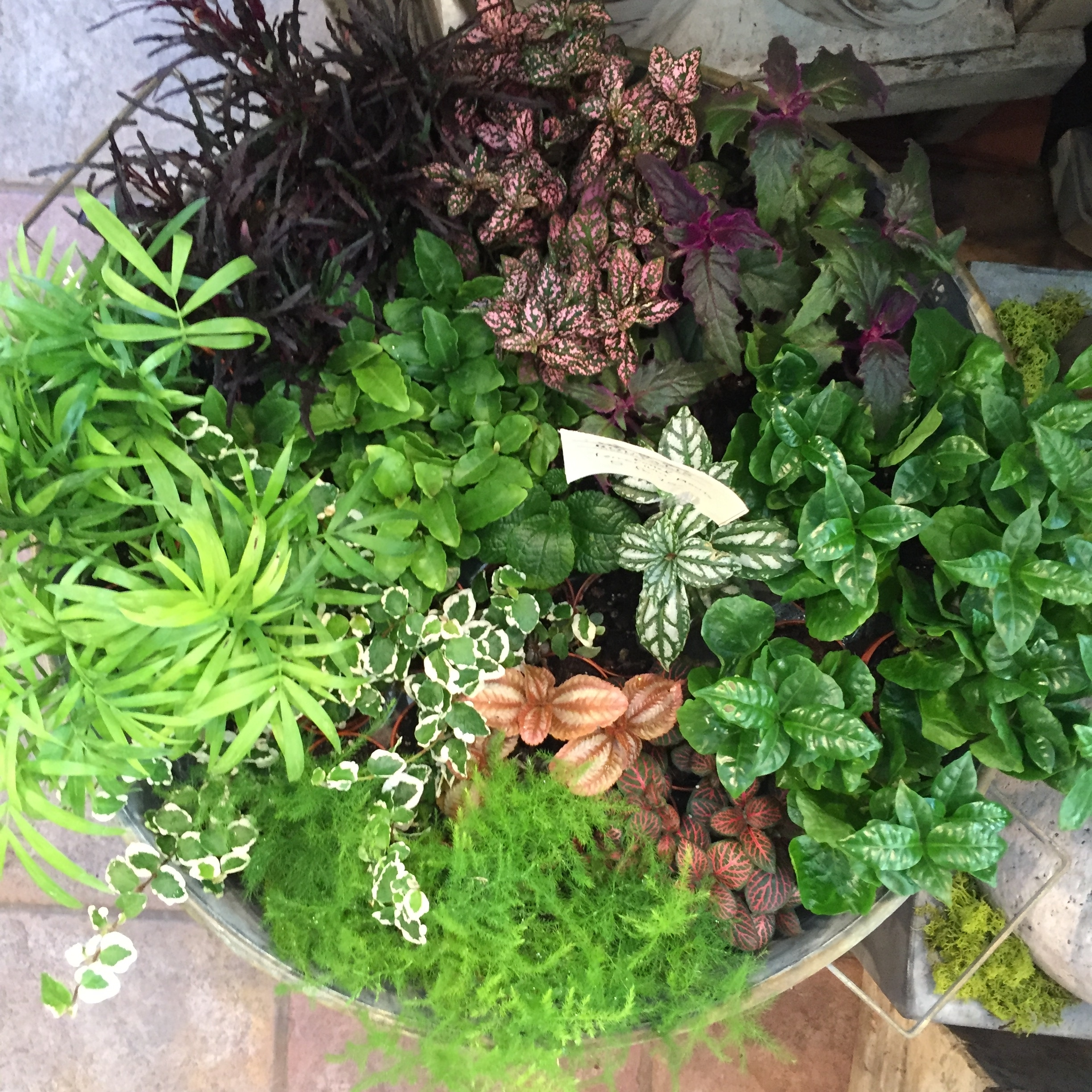 These assorted mini terrarium plants have been a huge hit this summer! We can barely keep them on the shelves, Coming in many different colors and textures- from tiny palms to colorful splash plants they bring a wonderful gardeny look to plantings.