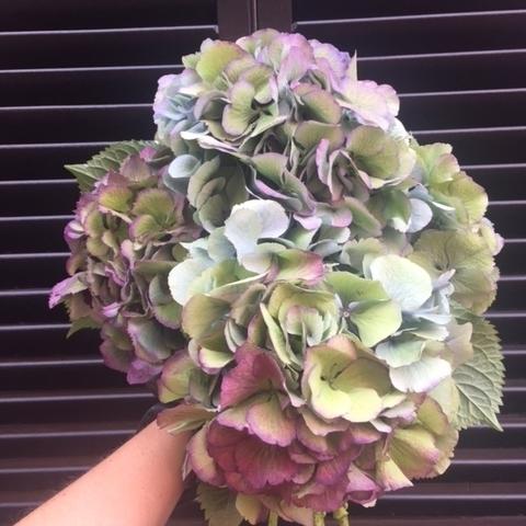Fall Flowers - Hydrangea