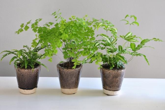 boston plants fern