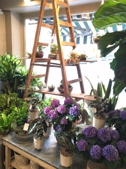 New window display, filled with beautiful green houseplants, and some early spring hydrangea bushes!