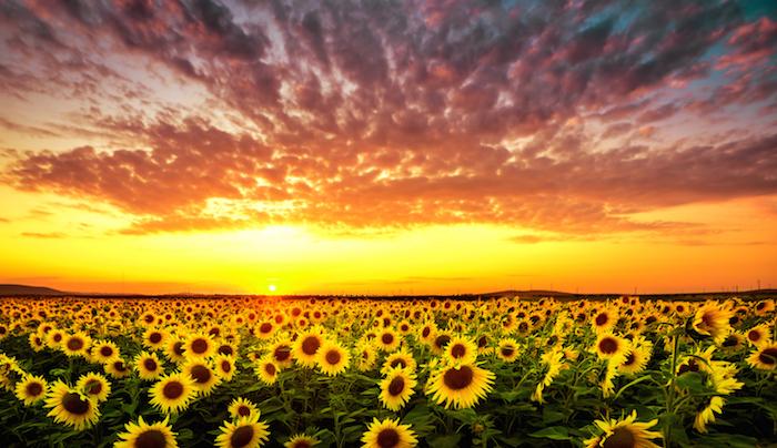 Sunflower-Meaning.jpg