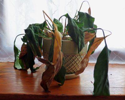 dead-houseplant-400x320.jpg