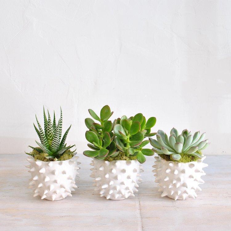 succulent trio.jpg