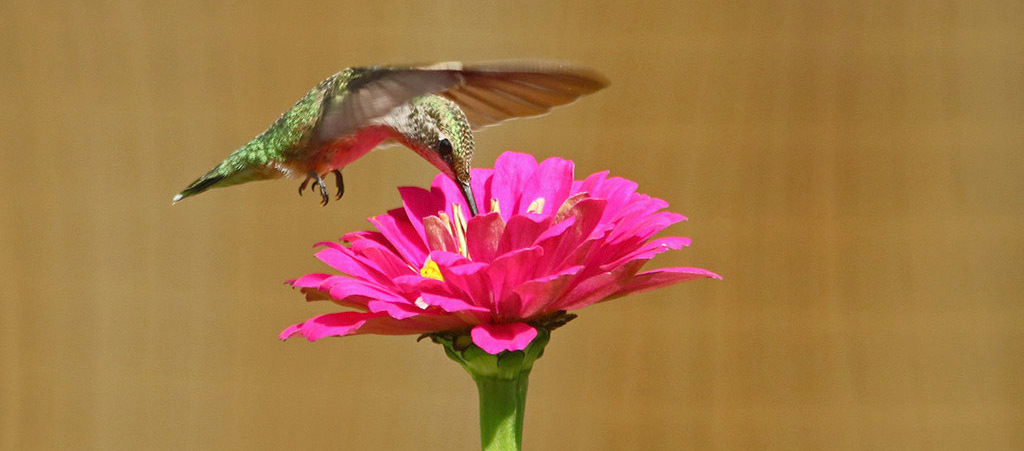 zinnia hummingbird.jpg