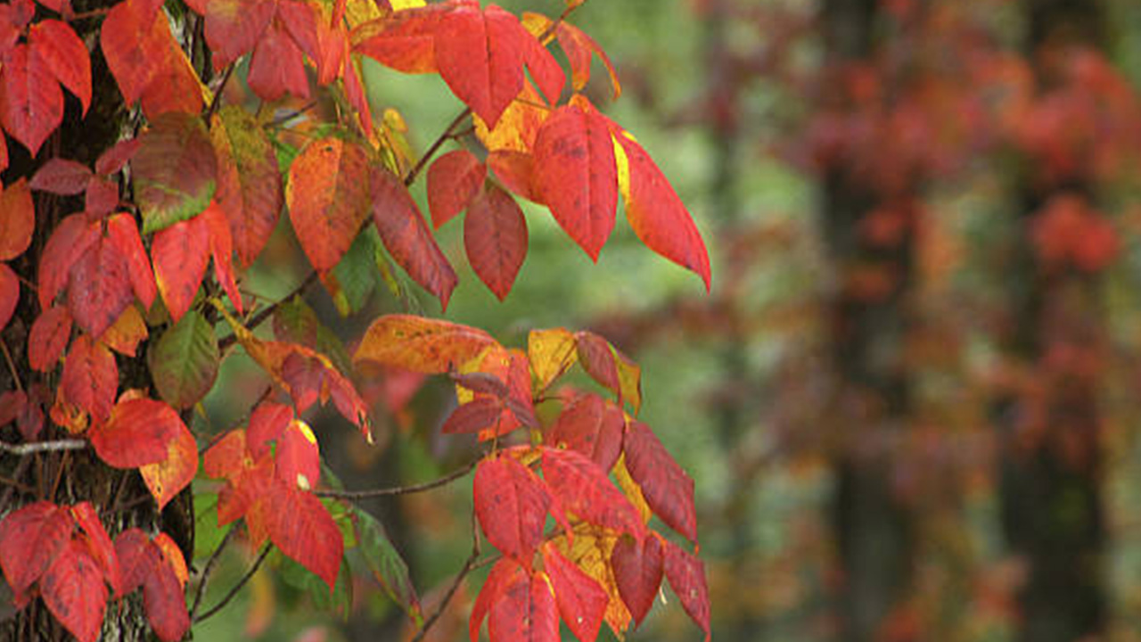 poison ivy fall.jpg