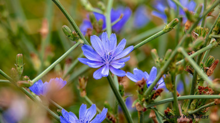 chicory again.png
