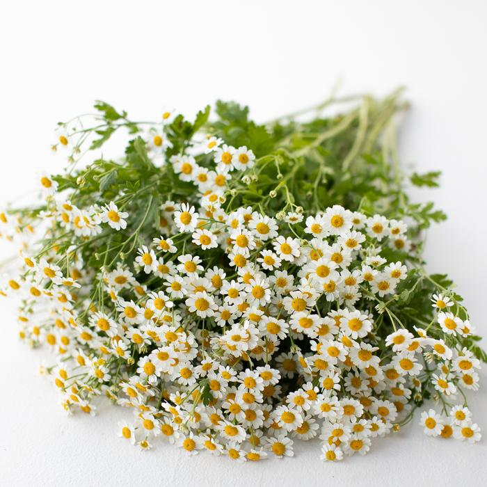 These little darlings are not to be missed. At Rouvalis we have fresh bunches of feverfew as well as mixed bunches featuring feverfew. They are simple, sweet and summery.