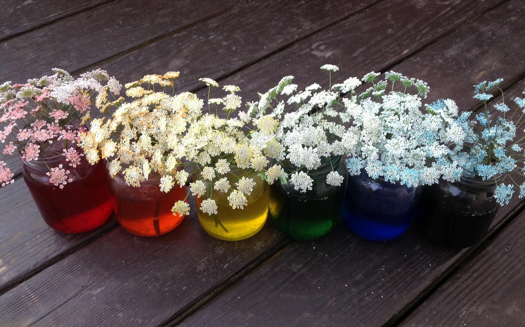 Queen Anne's Lace dyed with food coloring