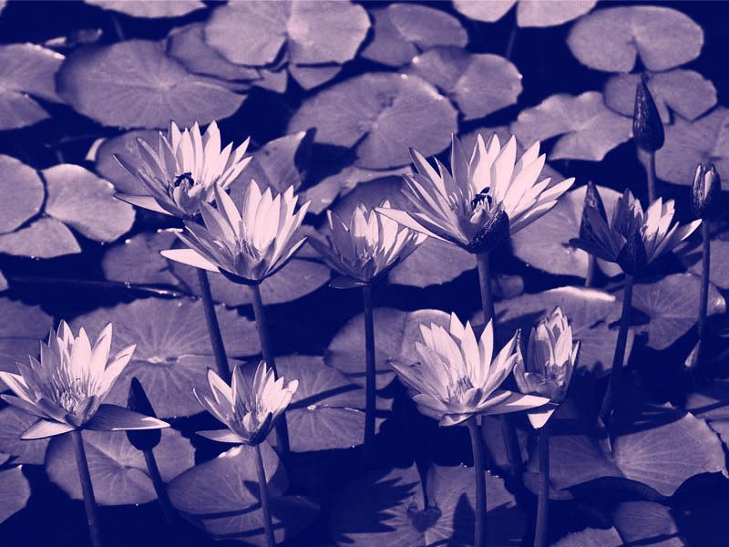 001_water liliesrotatedrgbflat.jpg