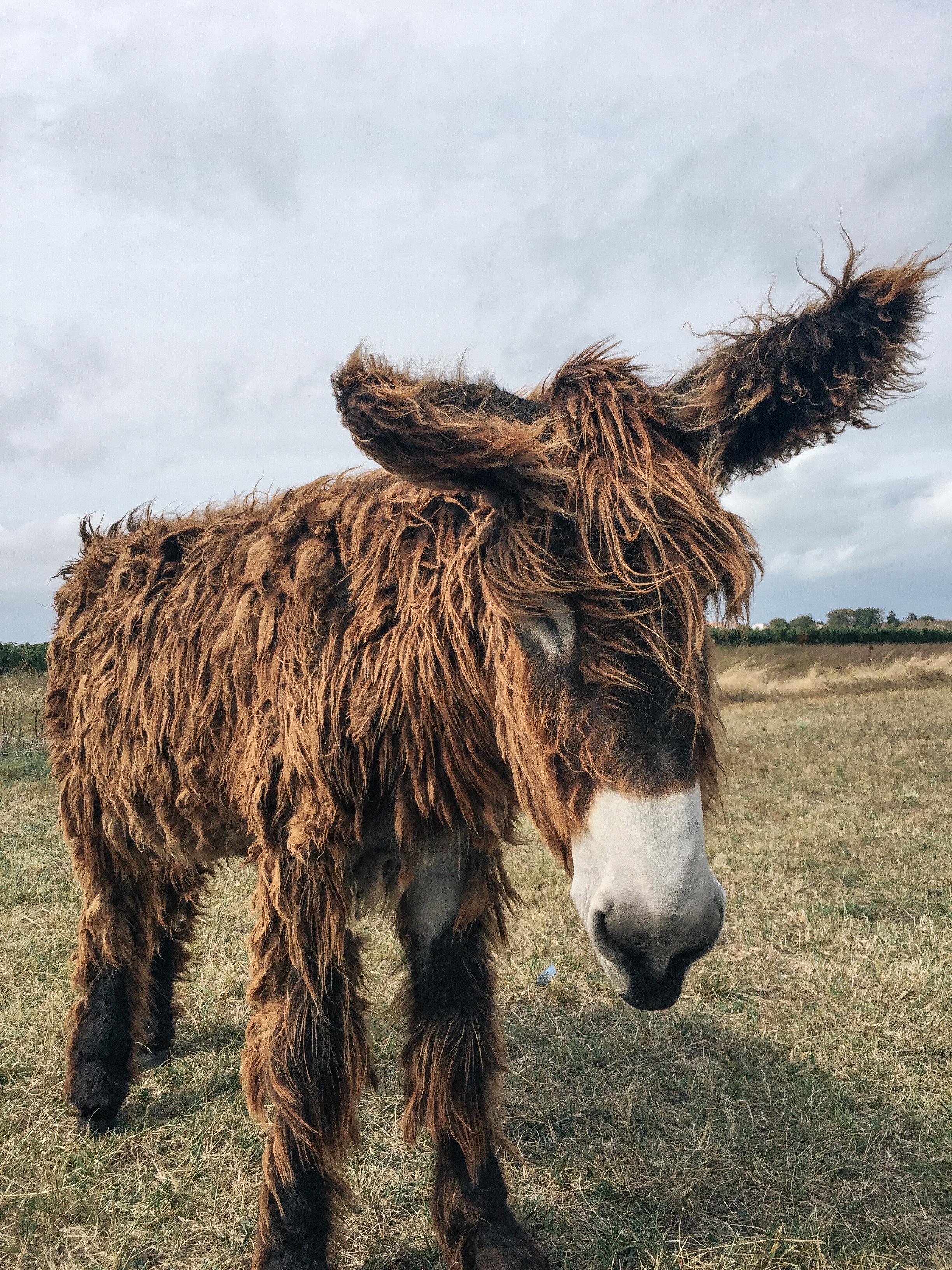 shaggy Poitou Donkey's