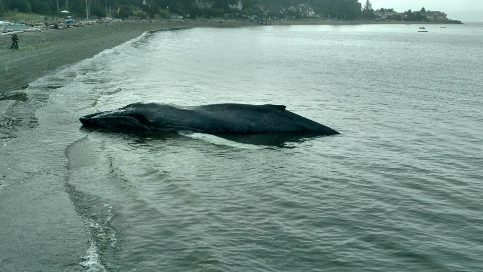 Beached humpback whale right by my house in Washington. Aug, 2016. (Photo by Mathie)