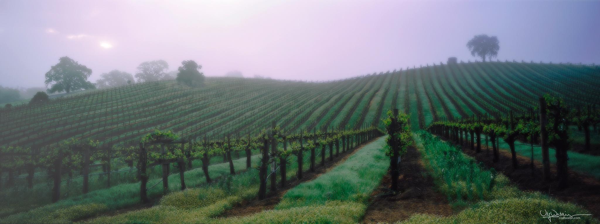 Vineyard - Alexander Valley, Sonoma
