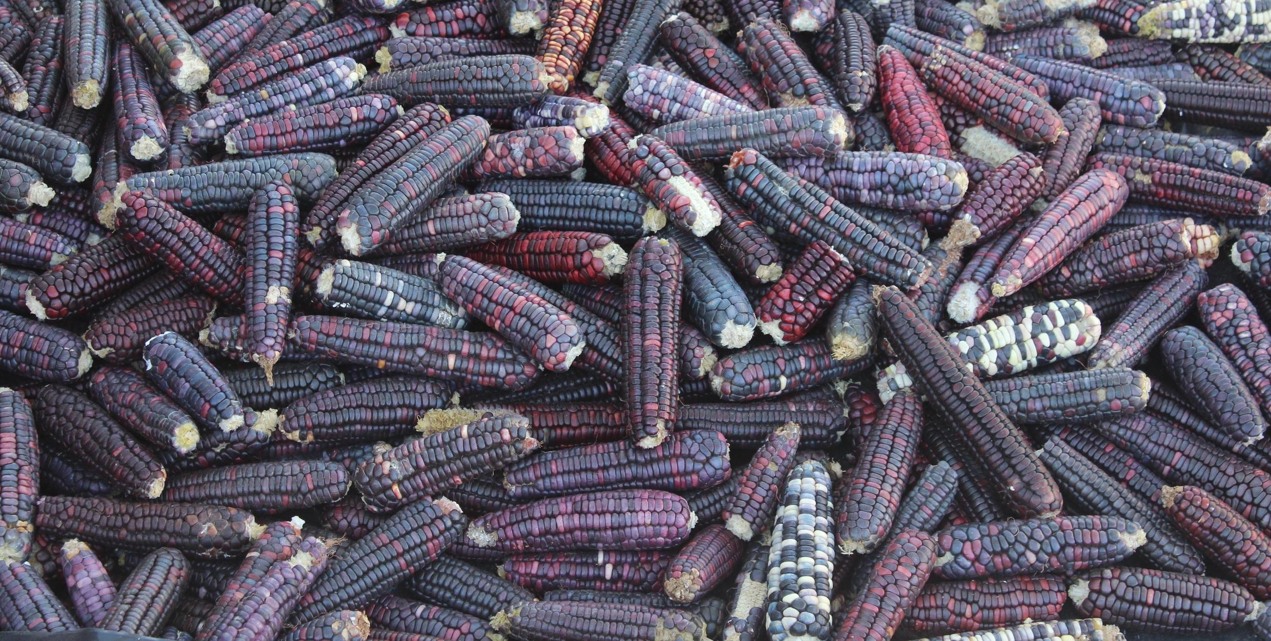 blue+corn.jpg