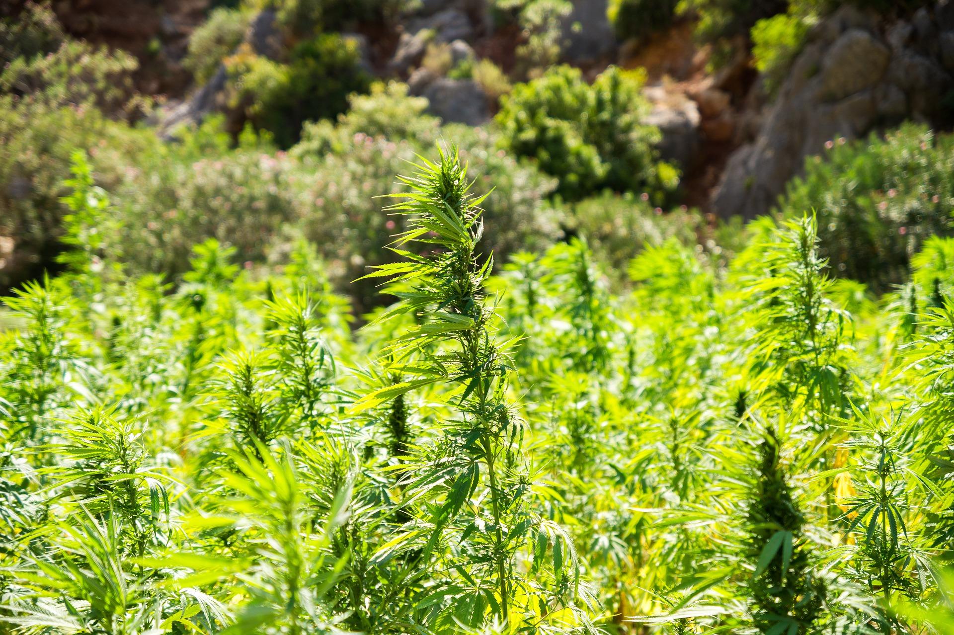 cannabis-2773112_1920 (1).jpg