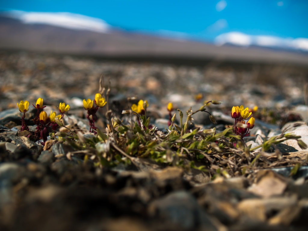 arabel-rekhemyae-flower-mountains-kyrgyzstan-sheisnomad