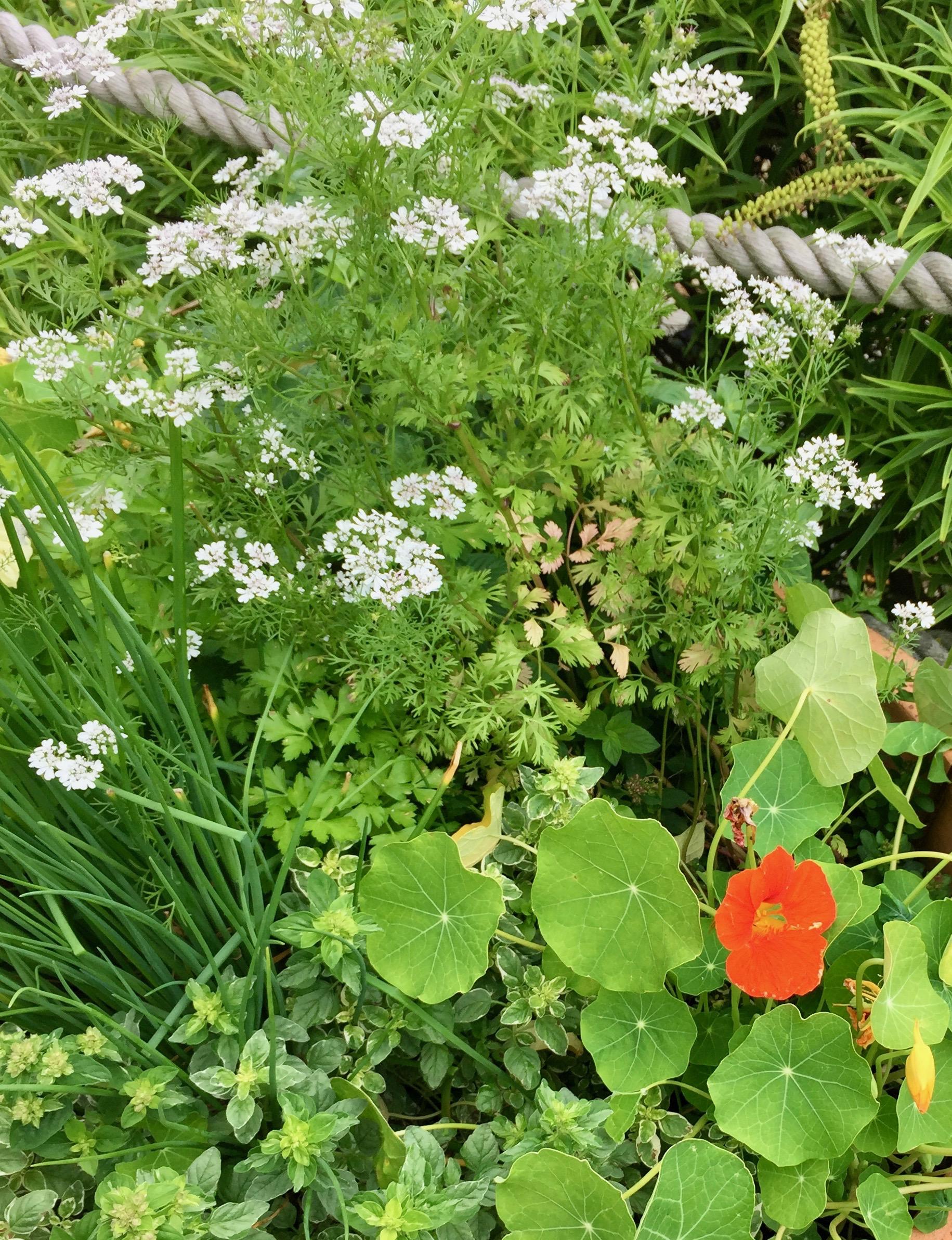 Edible nasturtiums growing in my herb pot.
