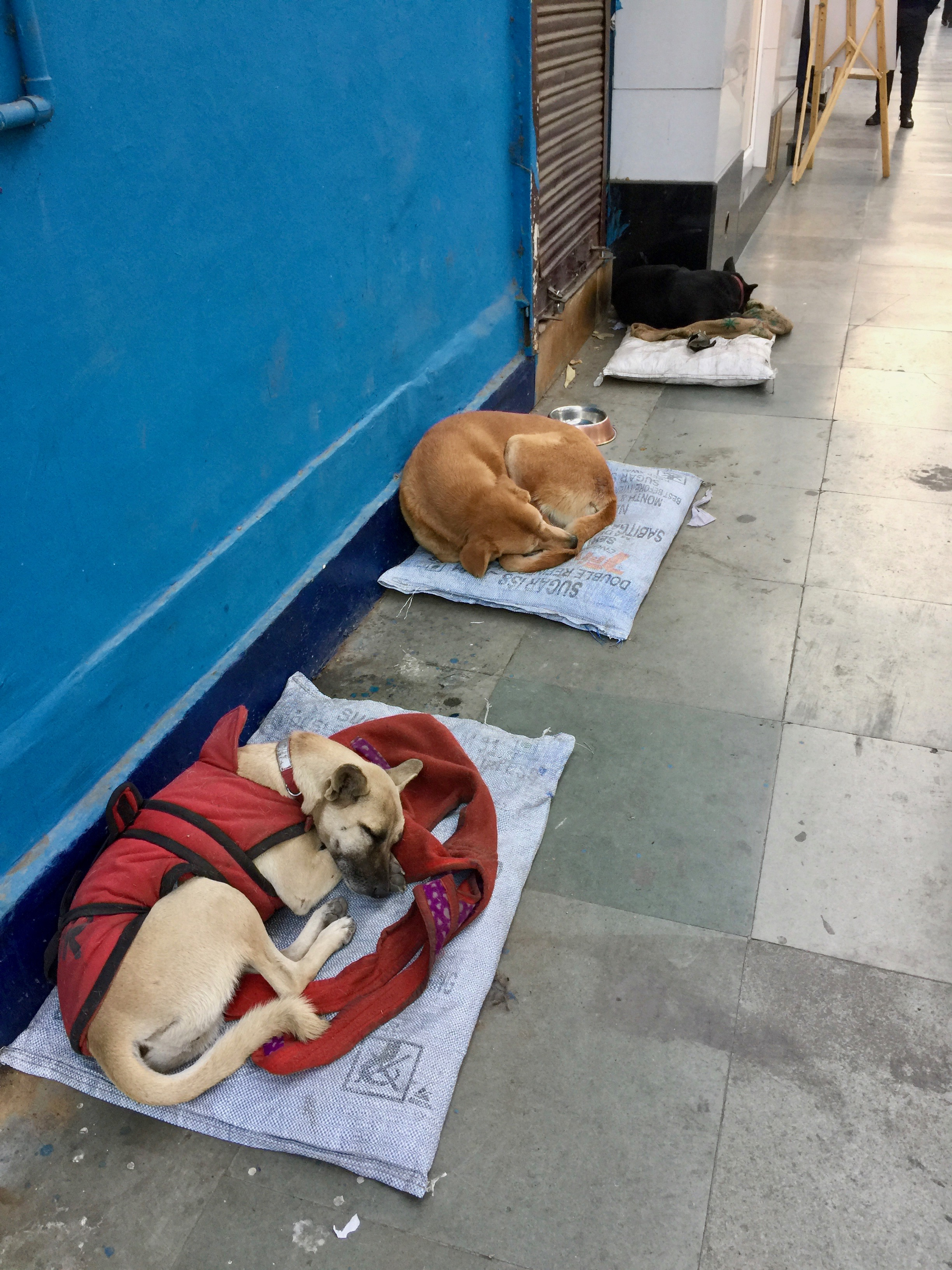 STREET DOGS IN NEW DELHI. WELL LOOKED AFTER BY SHOP OWNERS IN KHAN MARKET