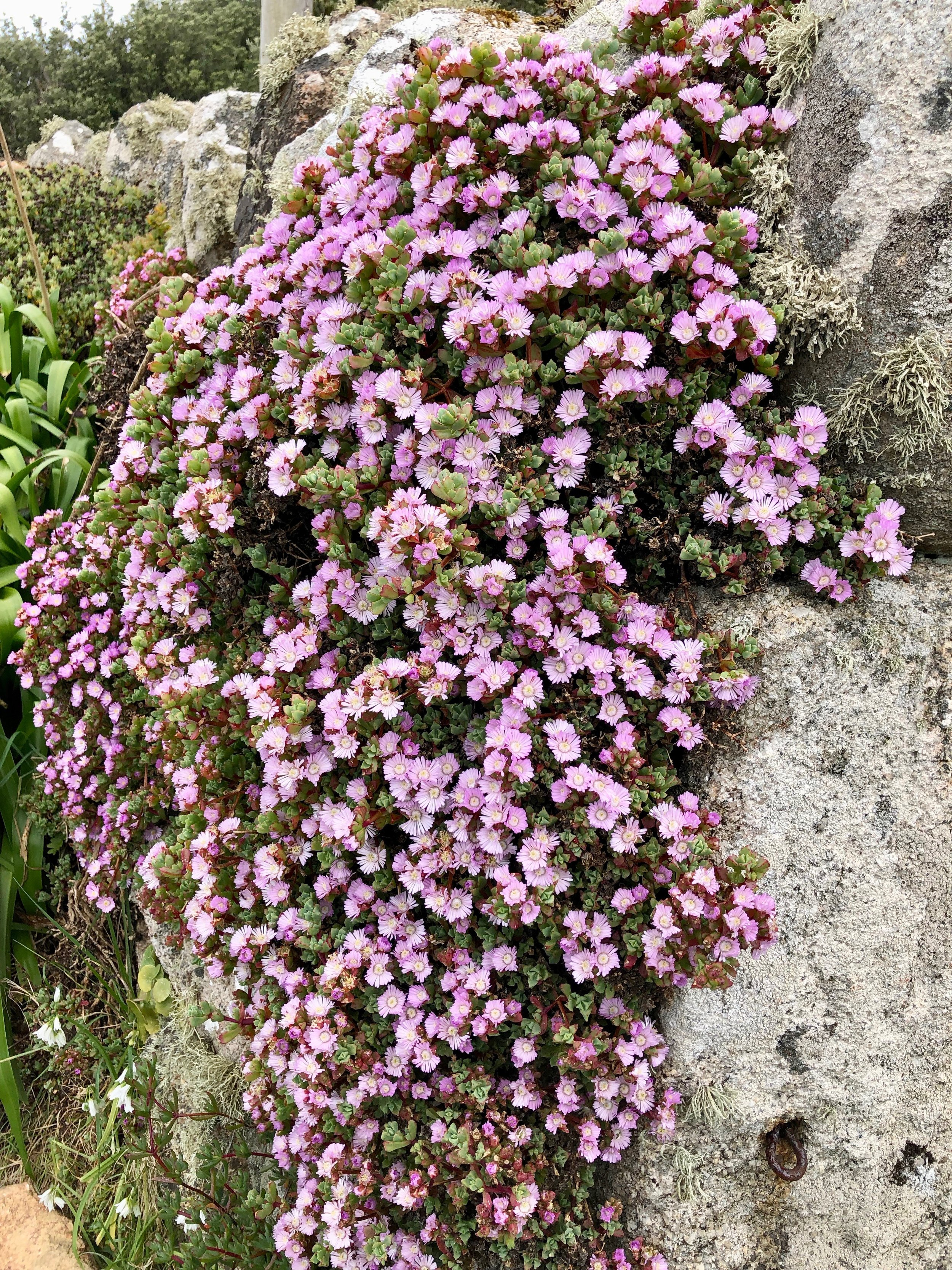 Wild flowers on the Scilly Isles.jpg