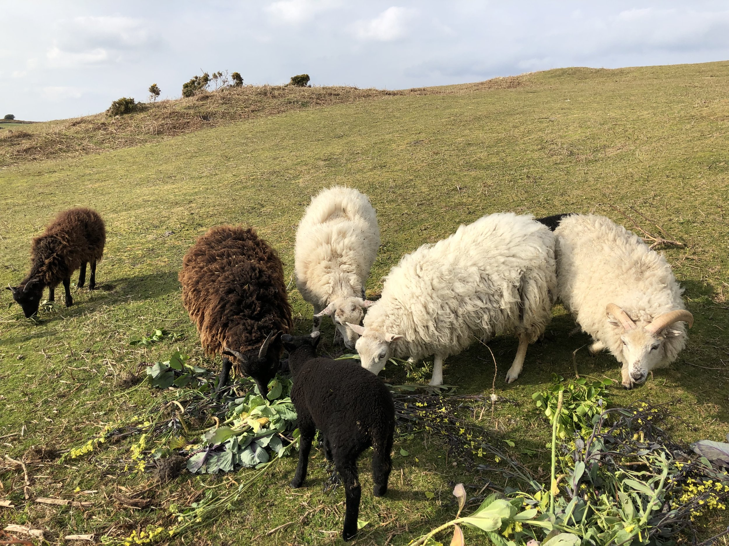 Sheep on St. Martin's, Scilly Isles.jpg