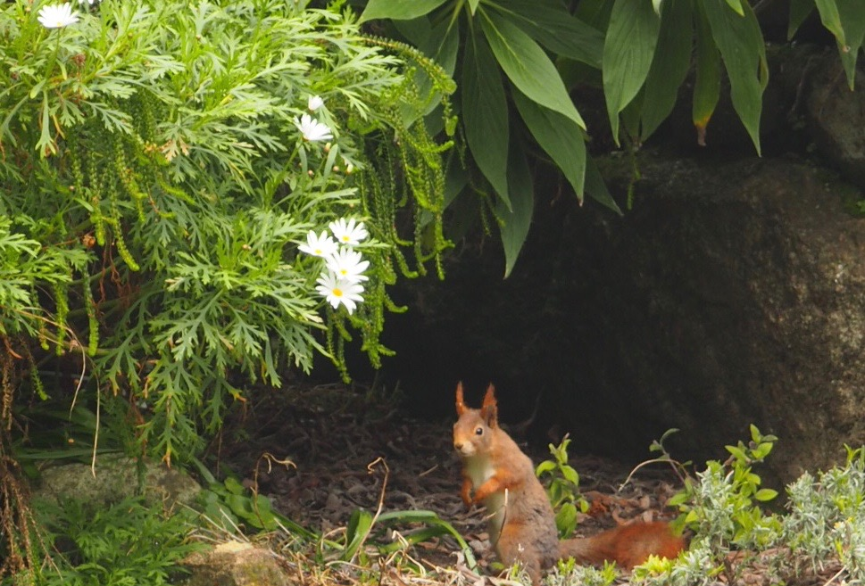 Red squirrel at Tresco Abbey Gardens.jpg