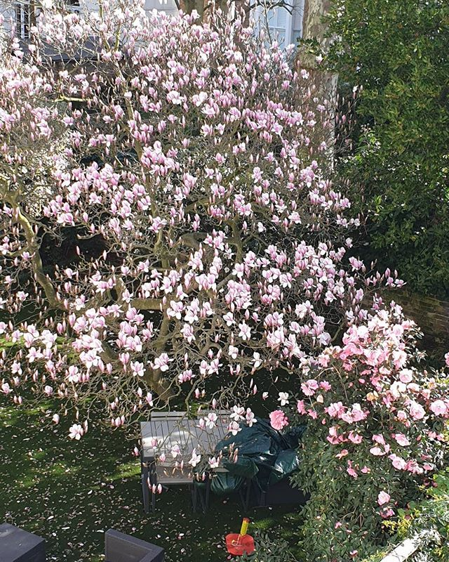 A very welcome sign that Spring really is on the way now.  #spring #tree #blossom #magnolia #garden