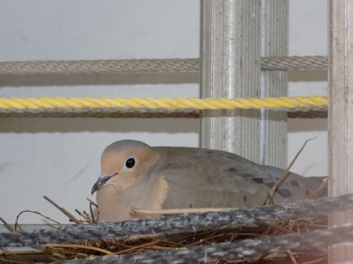 This little guy roosted below one of the decks at the Captain Jefferds Inn throughout the summer. Photo by Marti Mayne.