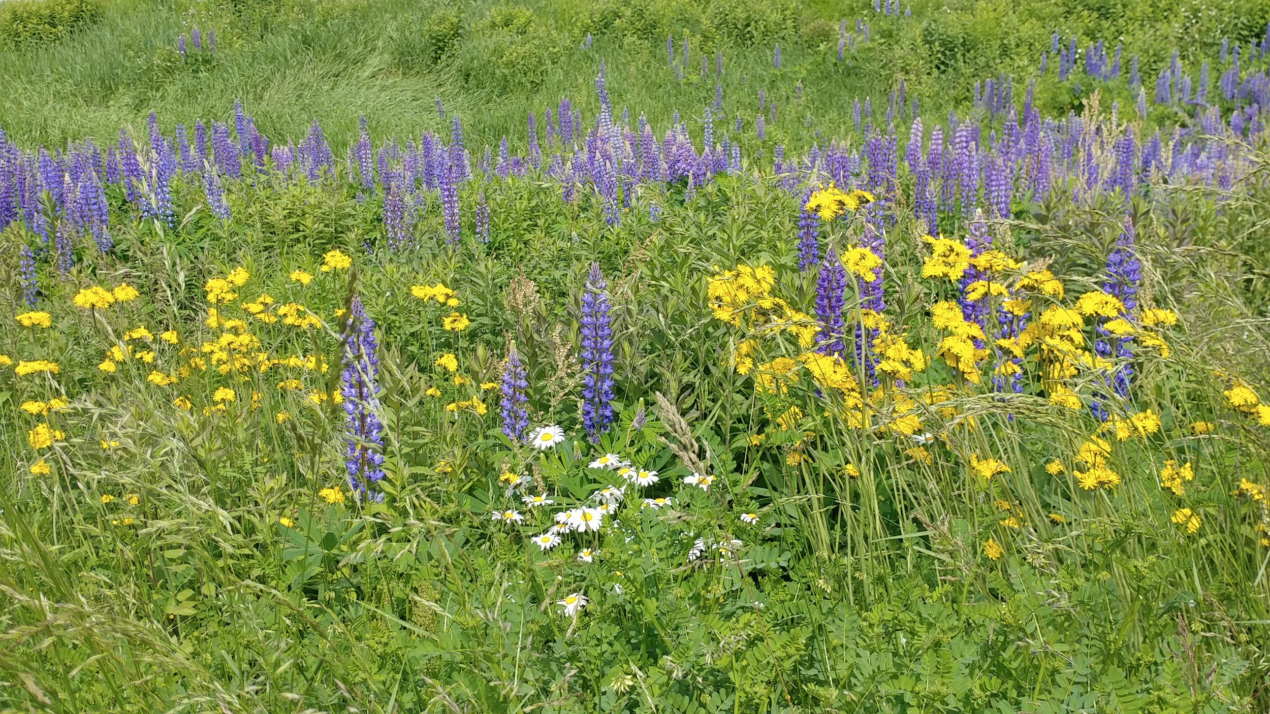 This beautiful filed of wild daisies, lupines and yellow flowers is found on Route One, right near Newcastle, ME. Inns Along the Coast photo.