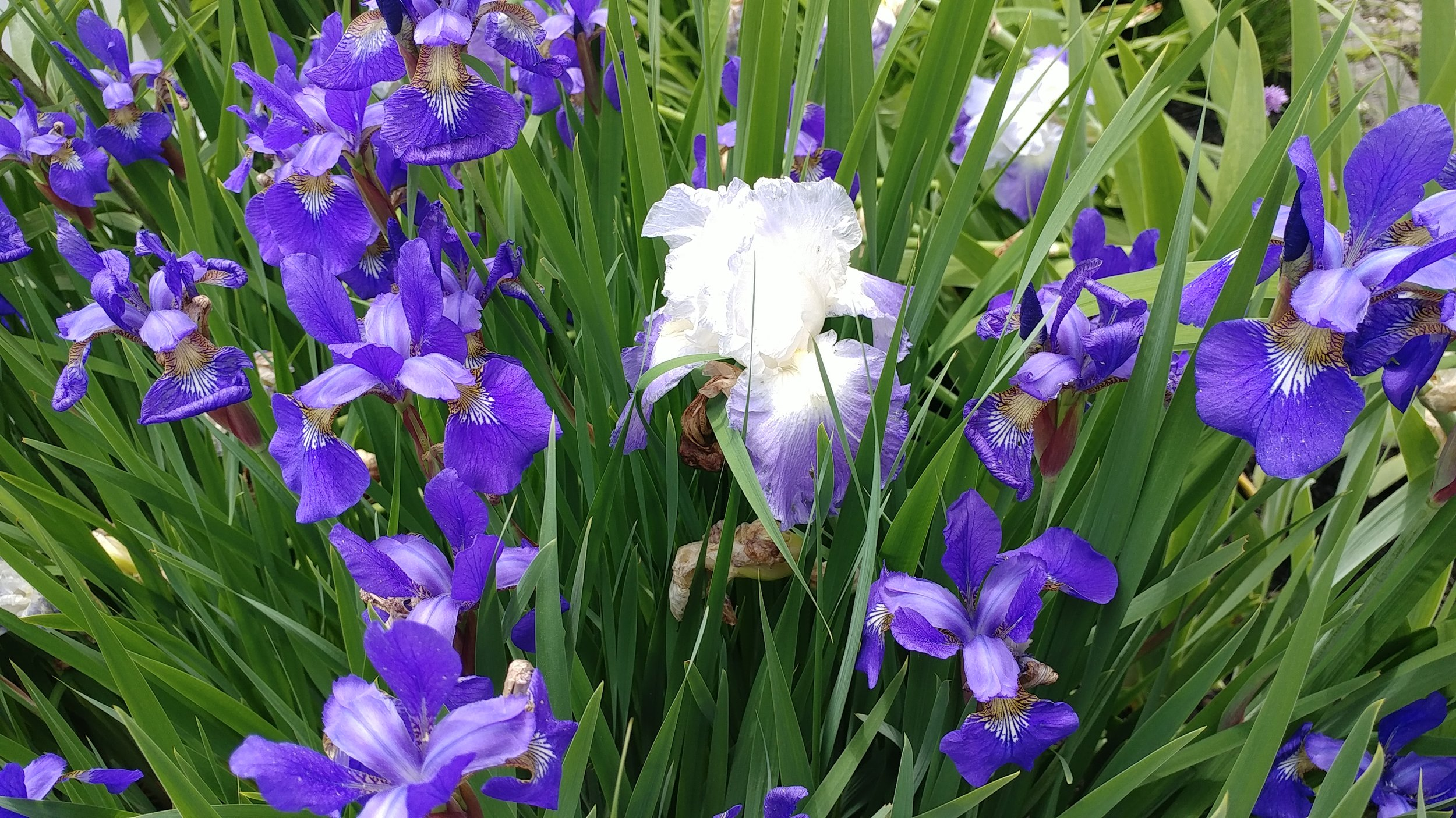 Beautiful purple irises with one stand-out white one in the crowd, all found in the gardens surrounding the Granite Inn in Rockland, ME. Inns Along the Coast photo.