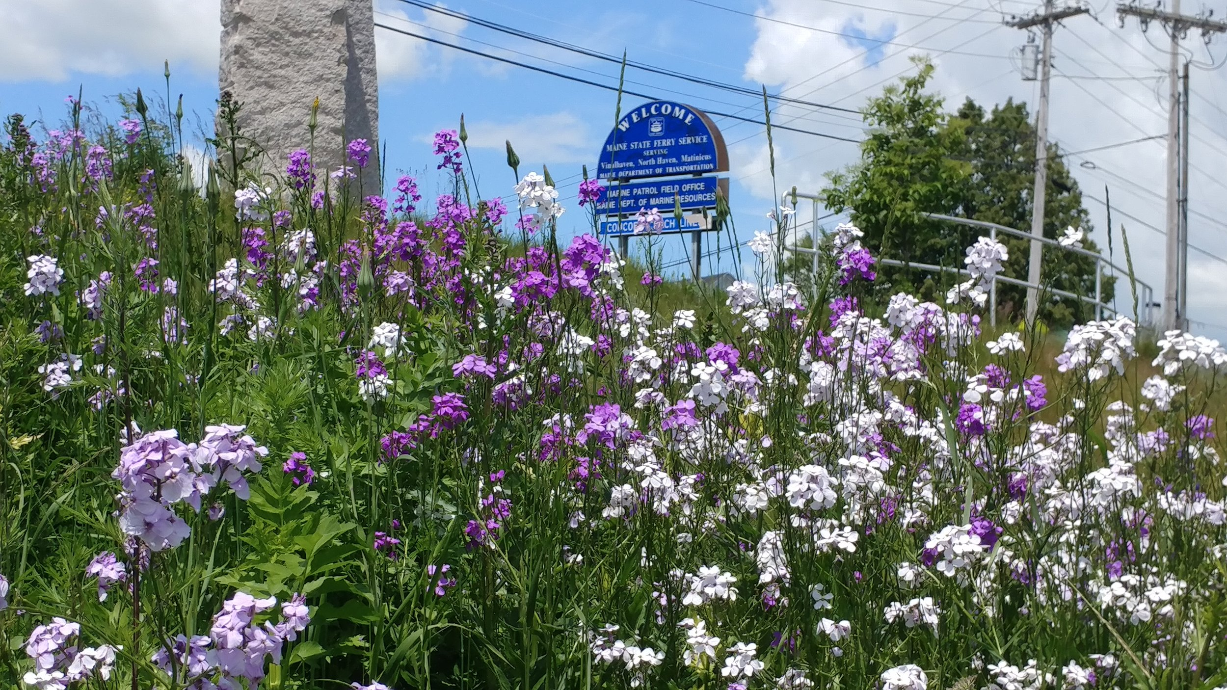 Fields of these beautiful purple and white flowers grow wild right outside the Rockland Ferry Terminal. Inns Along the Coast photo.