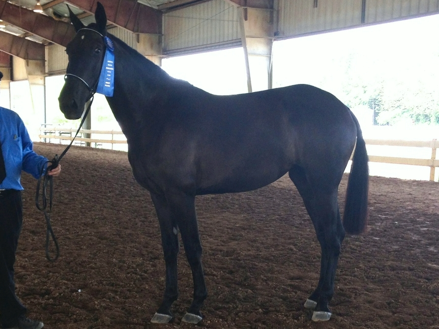 Haute Tantra CAL winning first place in her mare class at the Eastern Regional Andalusian and Lusitano Show, 2014.