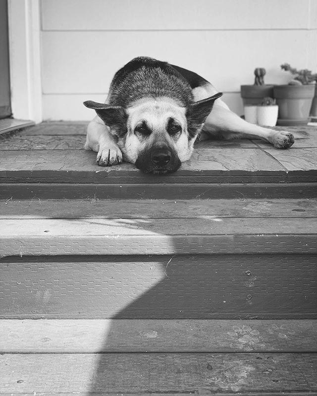 #meimeigsd #gsd #dogs