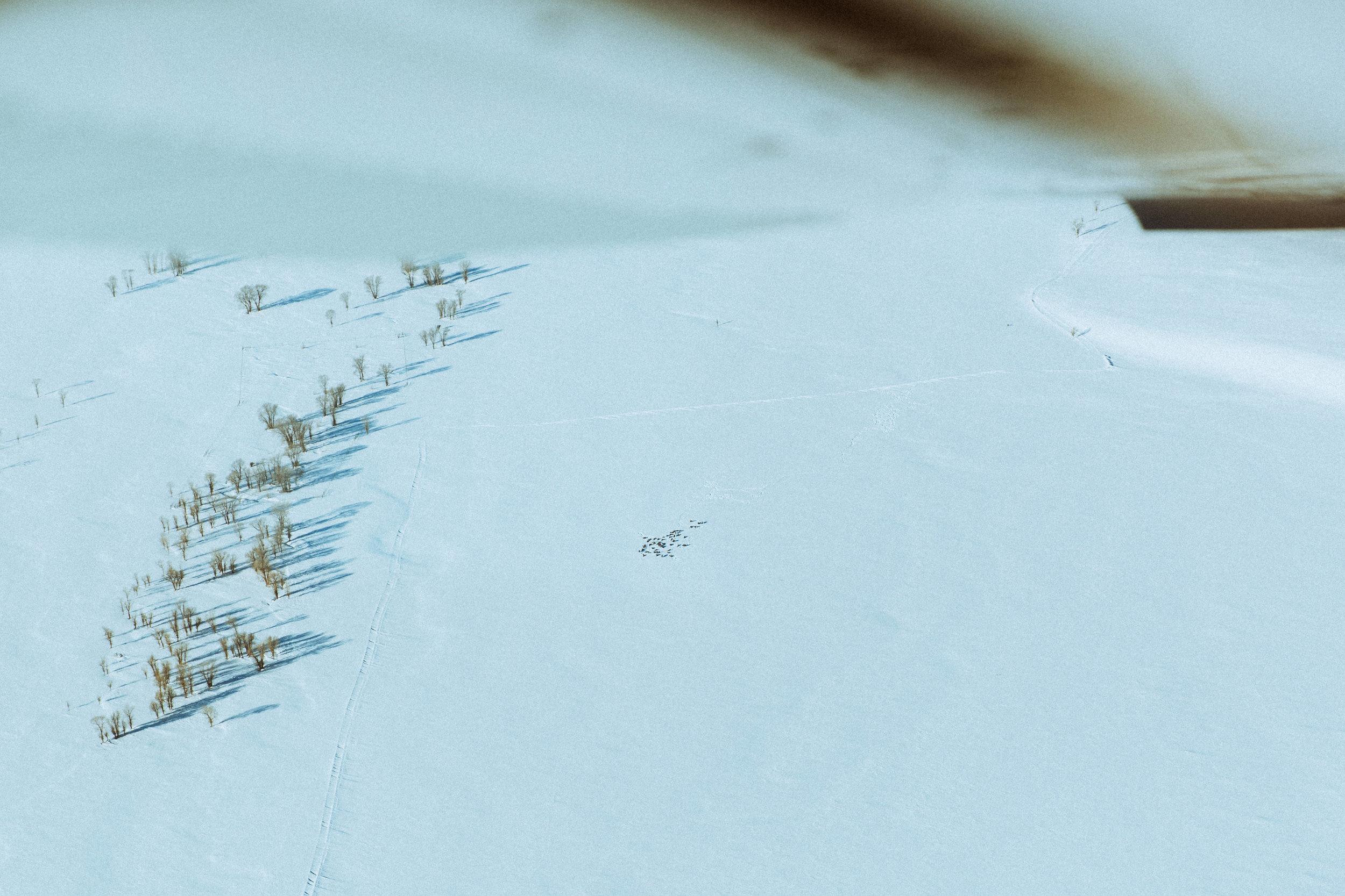 A herd of elk seen from above.