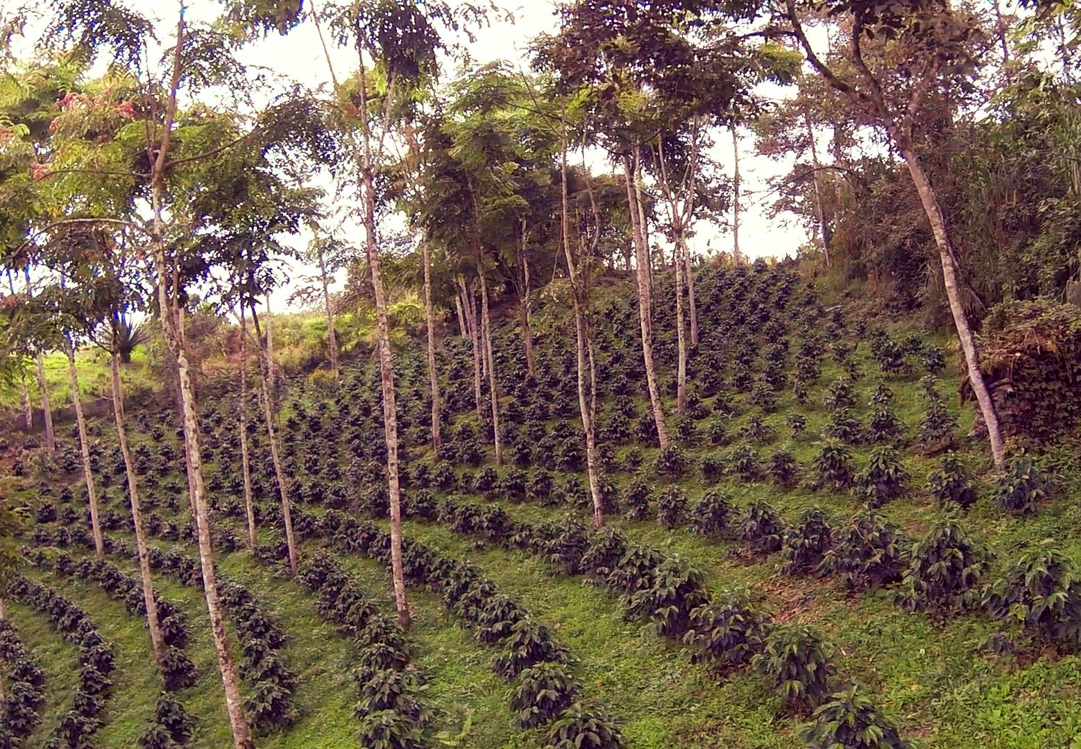 flying-through-a-shade-grown-organic-coffee-plantation_4nw92hstx__F0000.png