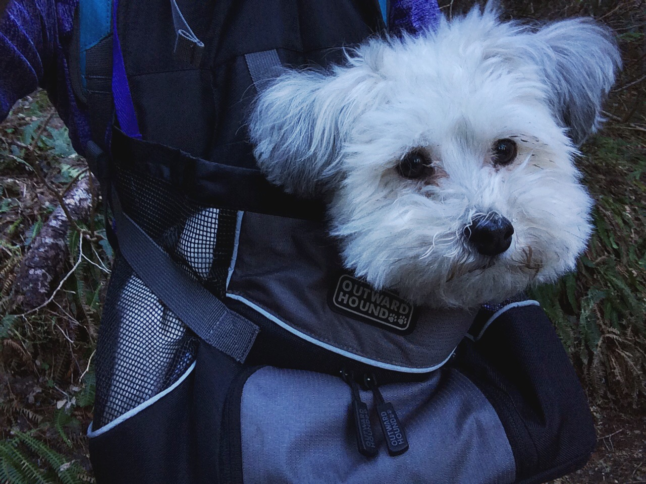 This is how little dogs hike