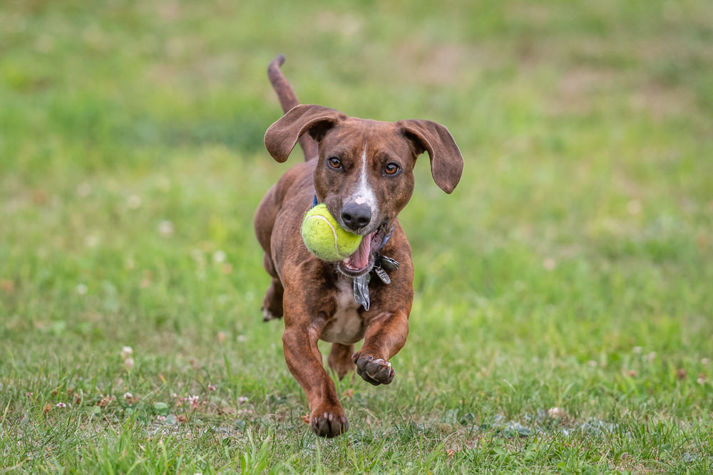 dog running and playing with a tennis ball